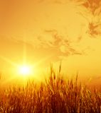 field пшеница Стоковое Фото