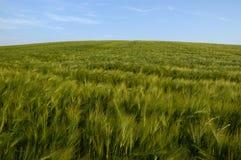 field пшеница стоковые изображения rf