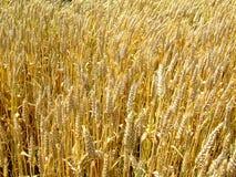 field пшеница Стоковые Фотографии RF
