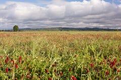field рис Биологический путь вырасти рис Стоковое Изображение