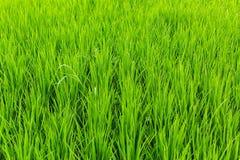 field рис Земледелие в Азии Стоковые Изображения