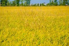 field рис Стоковое Изображение RF