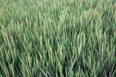 field рис Стоковое фото RF