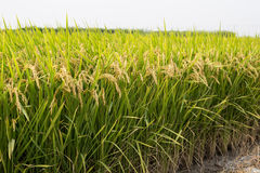 field рис Стоковое Изображение