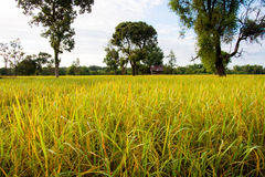 field рис Стоковые Фотографии RF