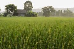 field рис Стоковое Фото