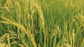 field рис сток-видео