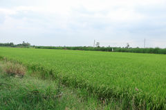 field рис Стоковые Изображения RF