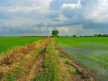 field рис Стоковая Фотография RF