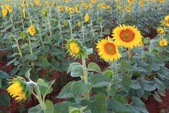 field солнцецвет стоковое изображение rf
