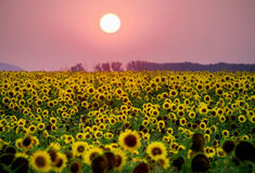 field солнцецвет Стоковое Фото