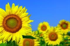 field солнцецвет Стоковые Фотографии RF