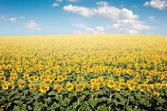 field солнцецвет стоковое фото rf