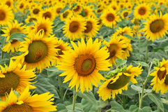 field солнцецвет стоковые фото