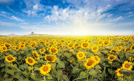 Field солнцецвет с светом пирофакела на солнце Стоковые Изображения