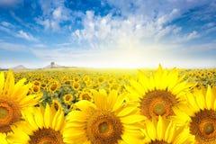 Field солнцецвет с светом пирофакела на солнце Стоковое Изображение RF