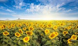 Field солнцецвет с светом пирофакела на солнце Стоковая Фотография RF