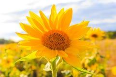Field солнце цветка крупного плана лета солнцецветов красивое желтое Стоковое Изображение