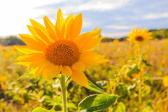 Field солнце цветка крупного плана лета солнцецветов красивое желтое Стоковые Фото