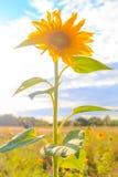 Field солнце цветка крупного плана лета солнцецветов красивое желтое Стоковое Фото