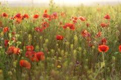 Field с зеленой травой и красными маками Стоковые Фото
