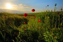 Field с зеленой травой и красными маками стоковая фотография rf