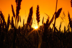 Field с ушами золота пшеницы в заходе солнца Стоковое Изображение RF