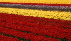 field тюльпан Стоковое Фото