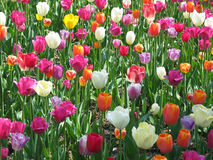 field тюльпан Стоковая Фотография