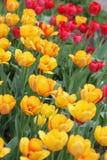field тюльпан Стоковое фото RF