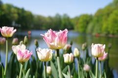 field тюльпаны белые Стоковые Изображения