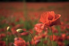 field цветок День памяти погибших в первую и вторую мировые войны, день Anzac, спокойствие стоковая фотография
