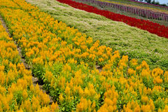 field цветок Стоковое Фото