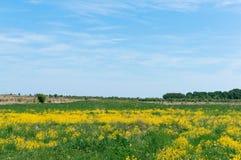 Field целебные цветки в лете, поле с желтыми цветками стоковое изображение