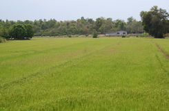 Field 1. The rice field in Thailand stock photography