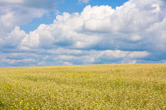 Field. A background of a large wheat field Royalty Free Stock Photos