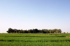 Field. Wide rice farm under the blue sky Stock Photo