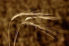 In field. Walk in wheat field before mowing Stock Images