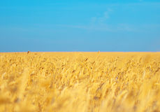 Field. Wheat field on background blue sky without cloud Royalty Free Stock Images