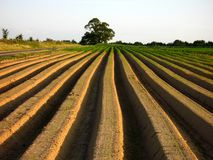Field. Sprouting plants on a field in summer Stock Image
