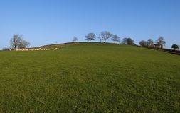 Field. Grassy field on a sunny day with a flock of sheep in the distance royalty free stock photography