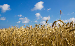 Field. A field of ripe wheat in the background of blue sky Stock Photos
