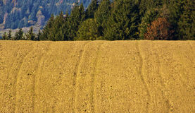 Field. With track from tractor surrounded with forest royalty free stock photo