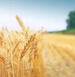 field зерно Стоковое Изображение RF