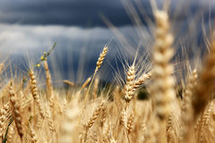 Field. Golden wheat growing in farm field Royalty Free Stock Images