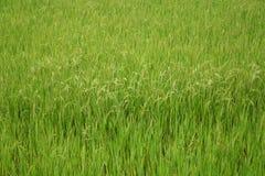 Field 2. Green rice field stock photos