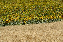 Field. Sunflower and wheat fields encounter Stock Photos
