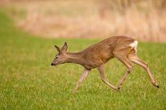 In the field. Roe deer female running in field recently mowed Royalty Free Stock Photo