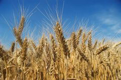 Field. An image of ripe ears of wheat Stock Image