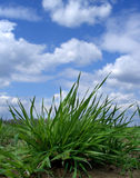Field. A green field and white clouds Royalty Free Stock Photography